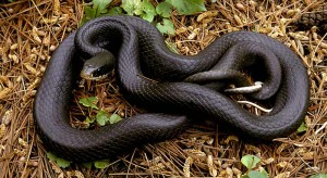 Year of the Black Snake