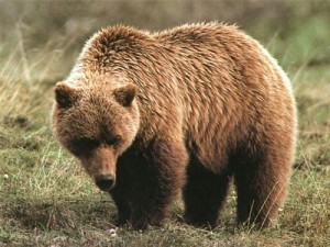 grizzly_bear3