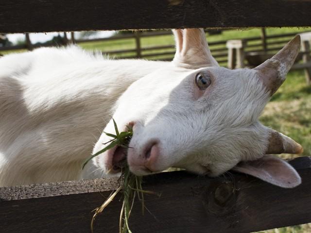 goat-640x480