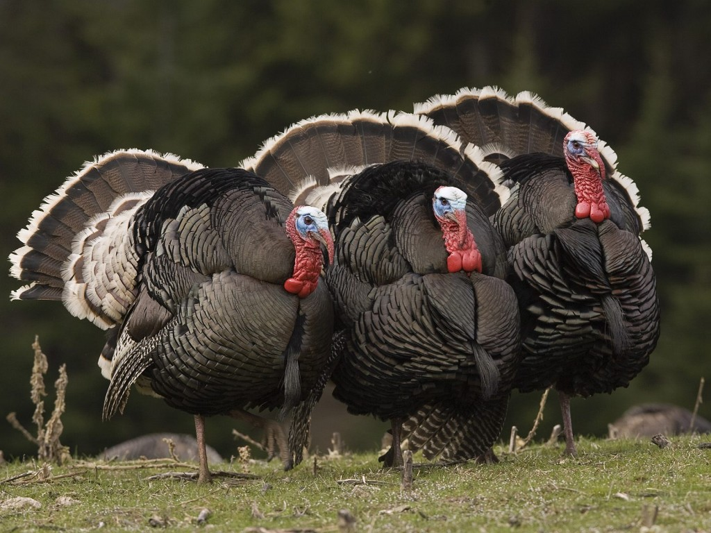 male_wild_turkeys__montana