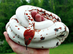 Dominical Red Mountain Boa
