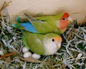 Love Birds On Nest
